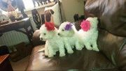Stunning Pedigree Bichon Frise Puppy For Xmas