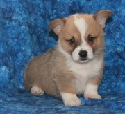 Welsh Corgi (Pembroke) Puppy for Sale